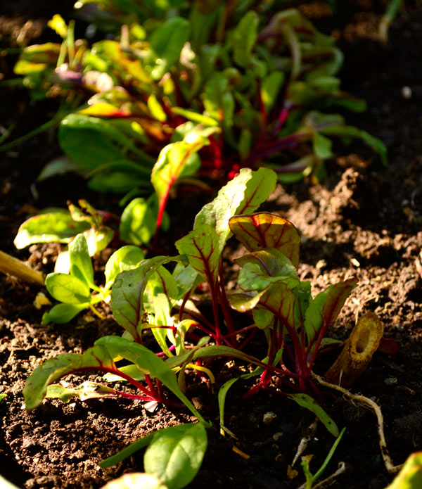 beet_sprouts